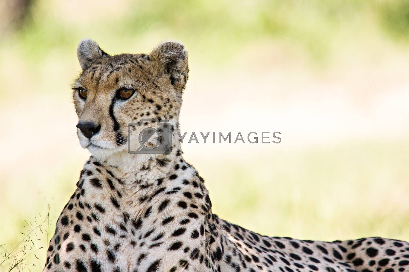 Royalty free image of Cheetah Portrait by ajn