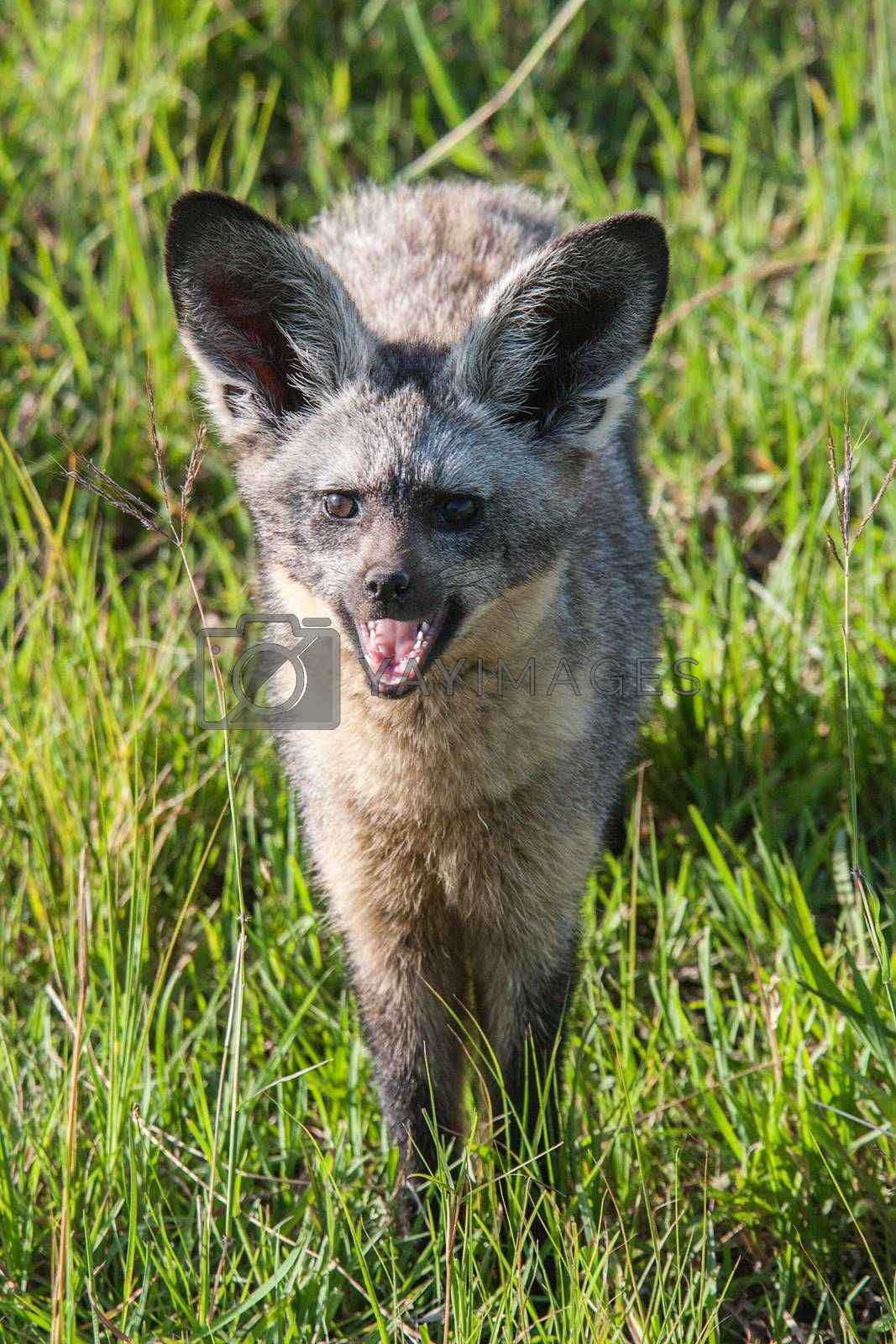 Royalty free image of Bat Eared Fox by ajn
