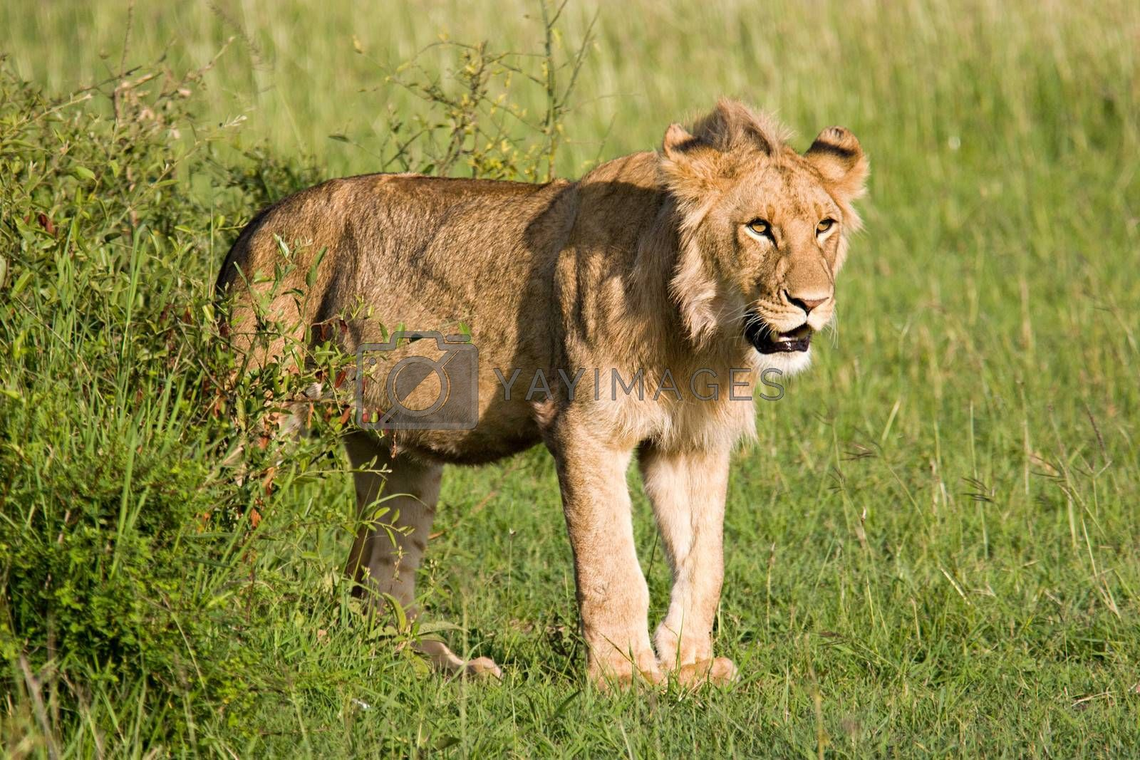 Royalty free image of Young Lion in the Savannah by ajn