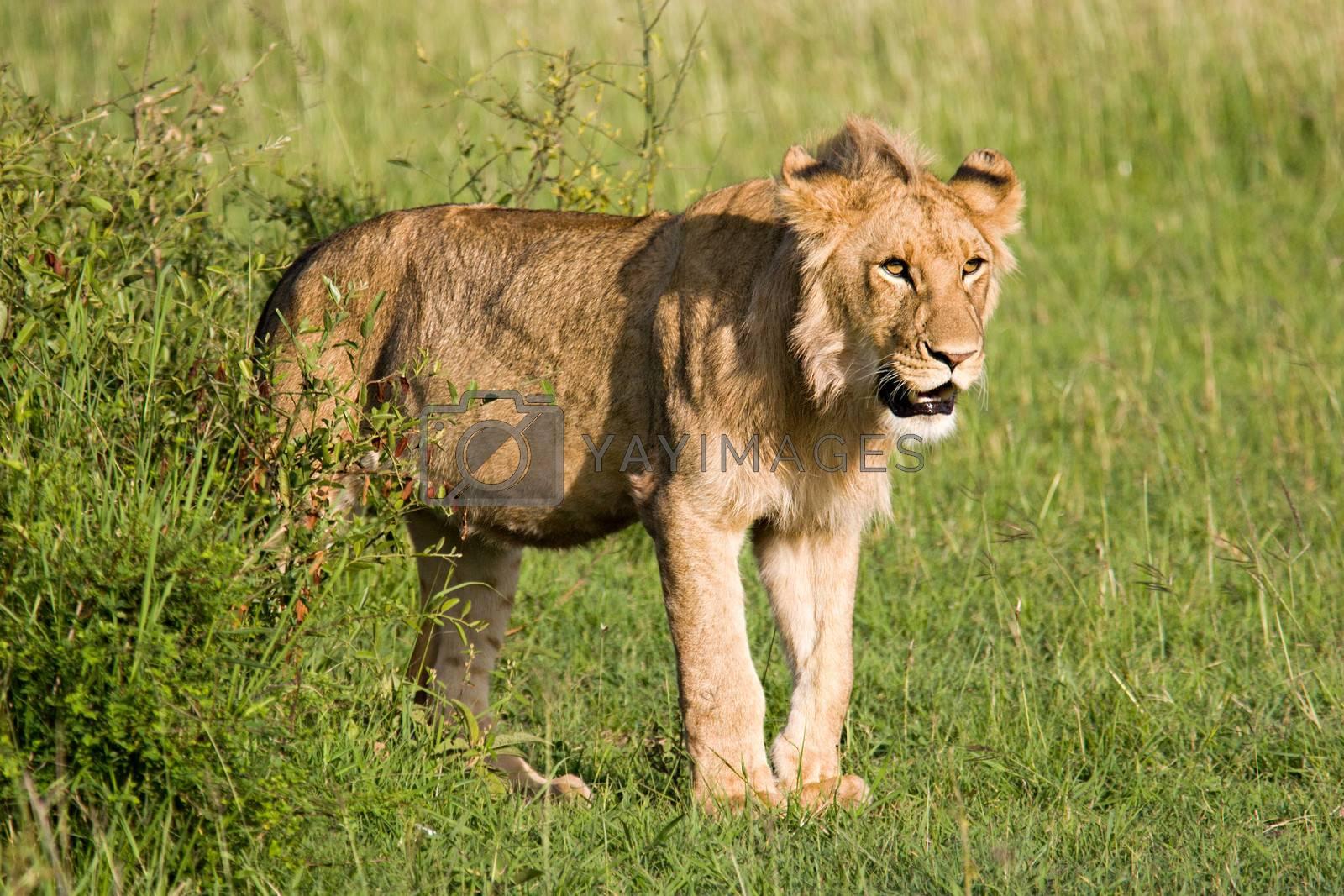 Young Lion in the Savannah in Massai Mara, Kenya.