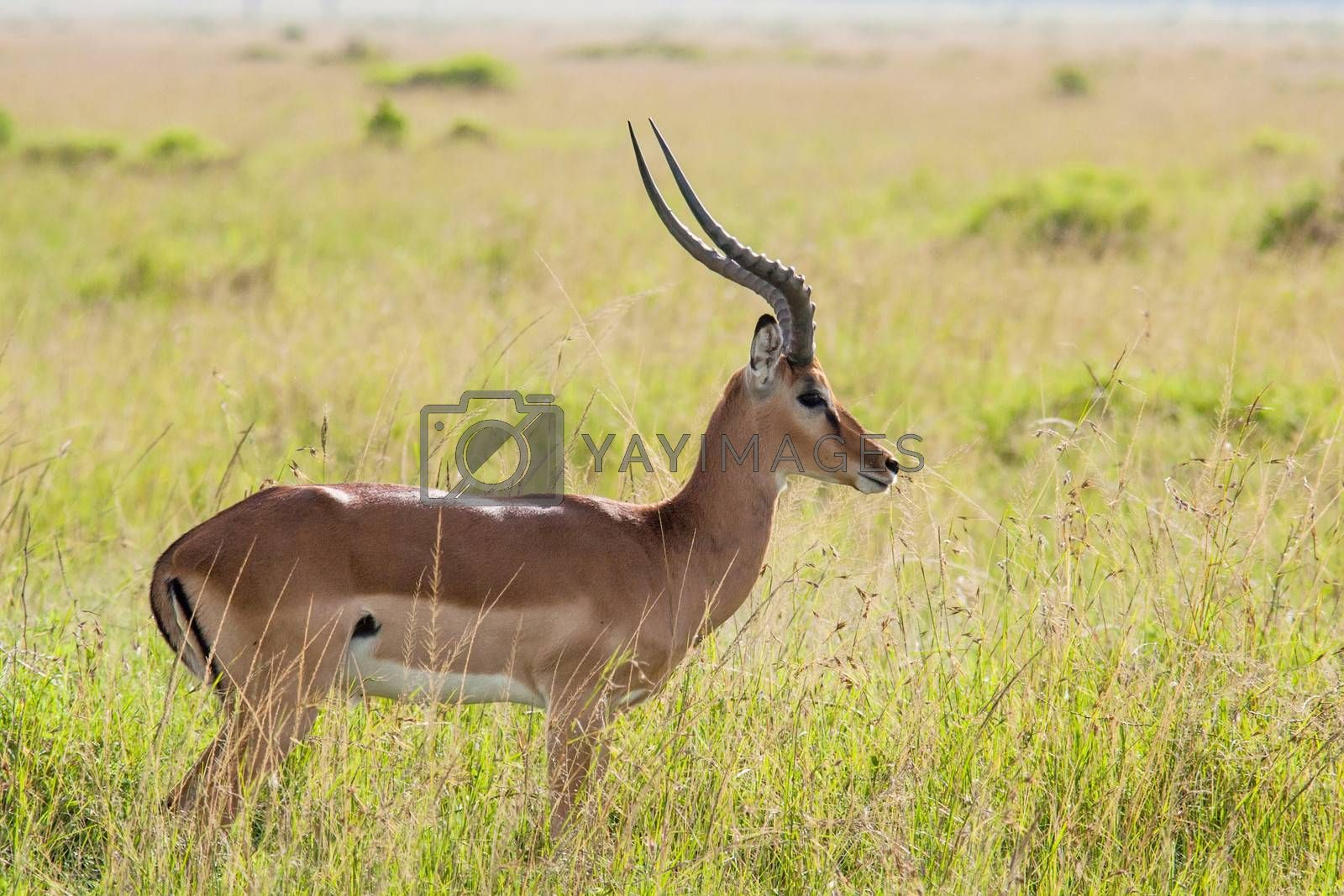 Photo of an Impala in the Massai Mara Savannah, Kenya. Scientific name: Aepyceros melampus