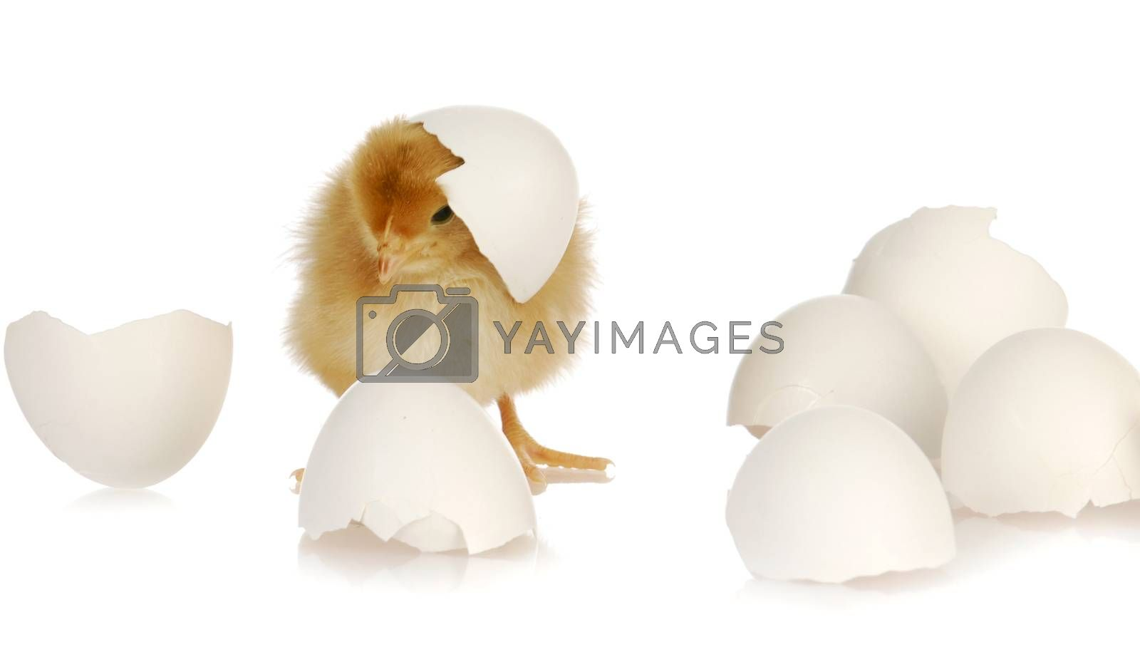 newborn yellow baby chicken isolated on white background