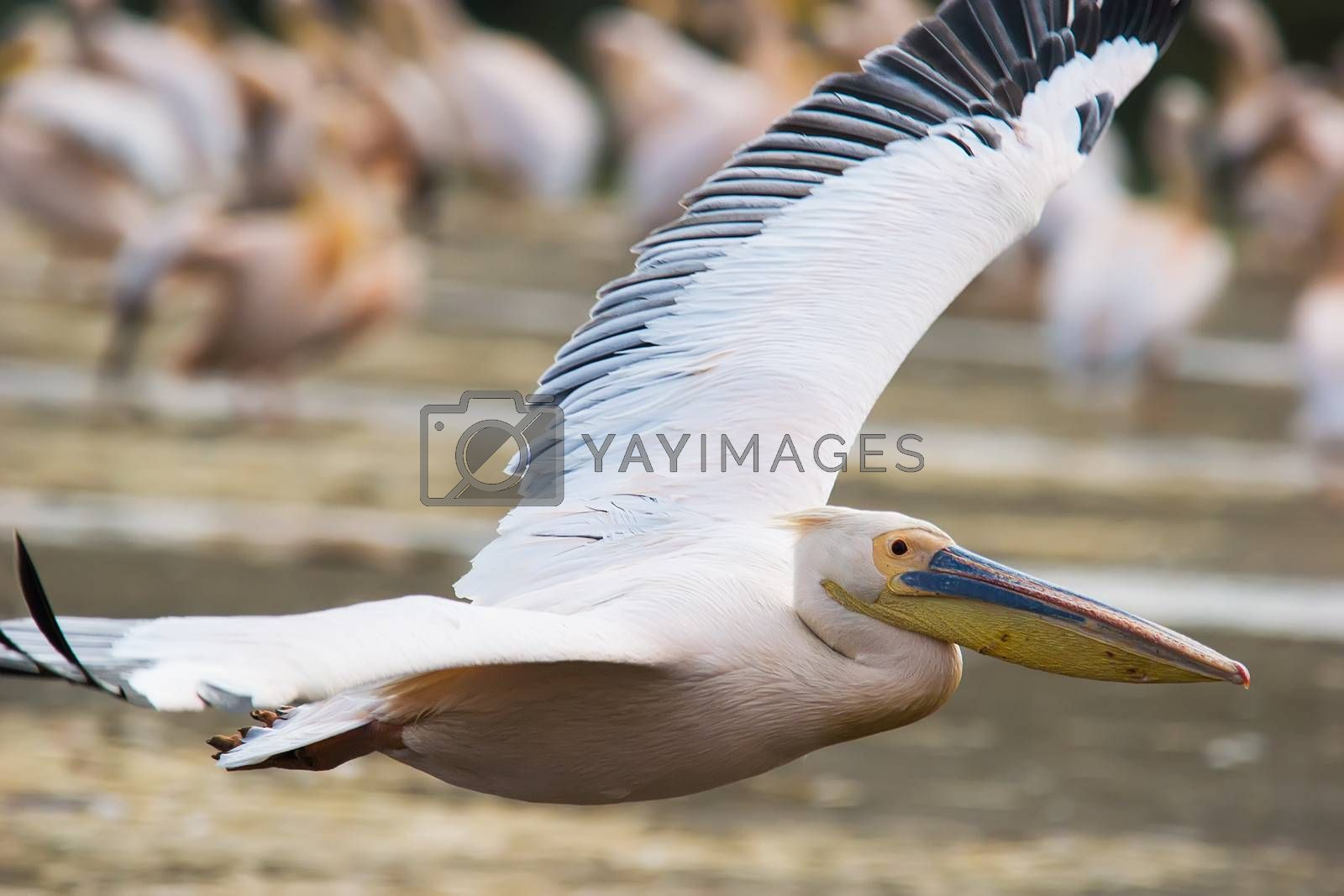 Royalty free image of Great White Pelican (Pelecanus onocrotalus) by ajn