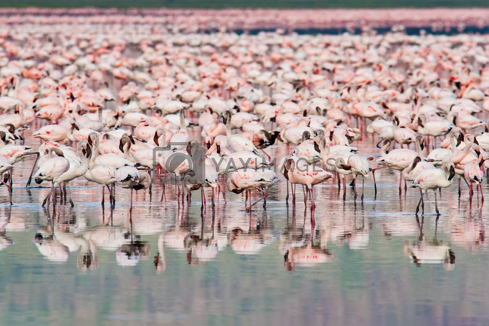 Royalty free image of Thousands of Flamingos on Lake Nakuru by ajn