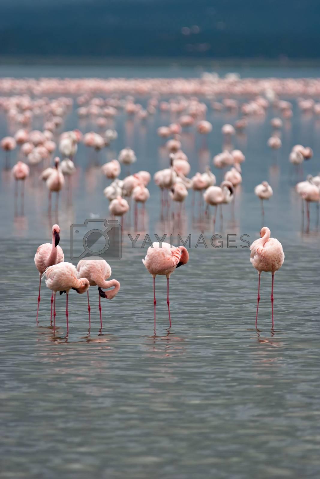 Flamingos on Lake Nakuru, Kenya. Scientific name: Phoenicopterus minor