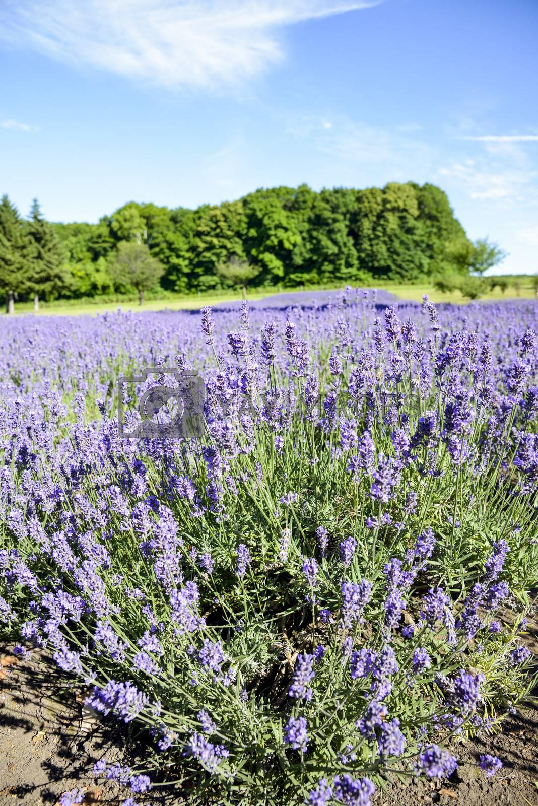 Lavender flower garden1 by gjeerawut