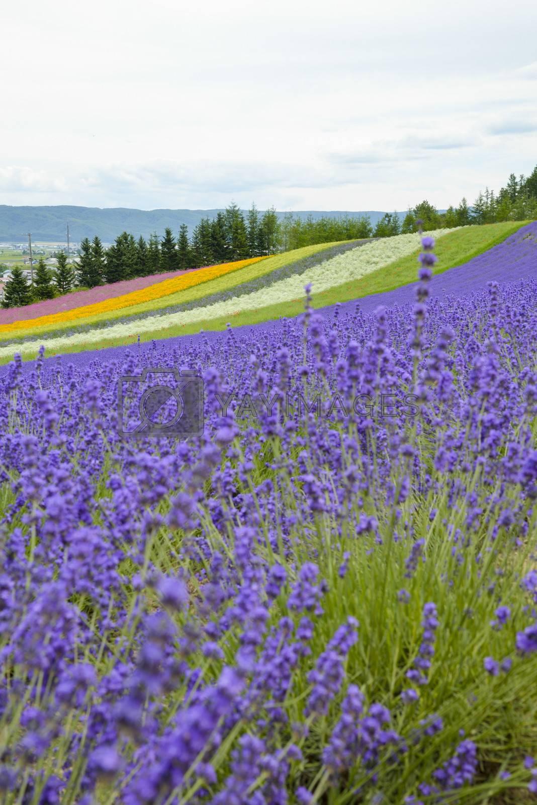 Lavender farm in Japan5 by gjeerawut