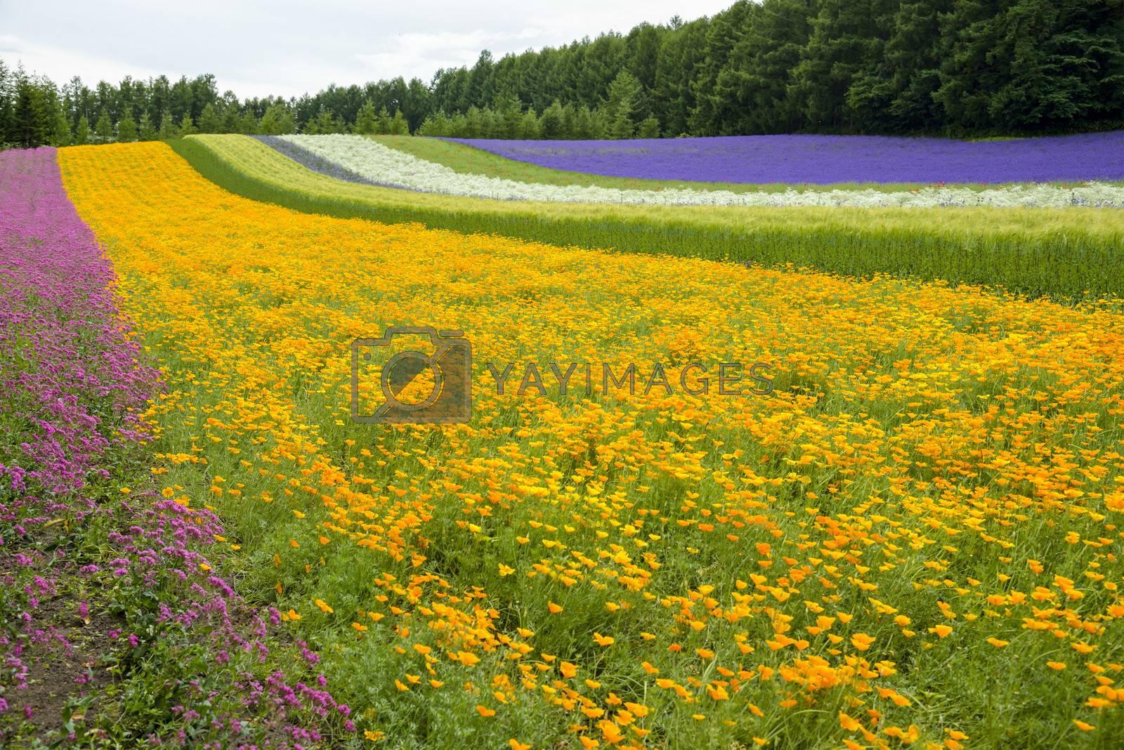 Colorful flower blossom garden in Japan7 by gjeerawut