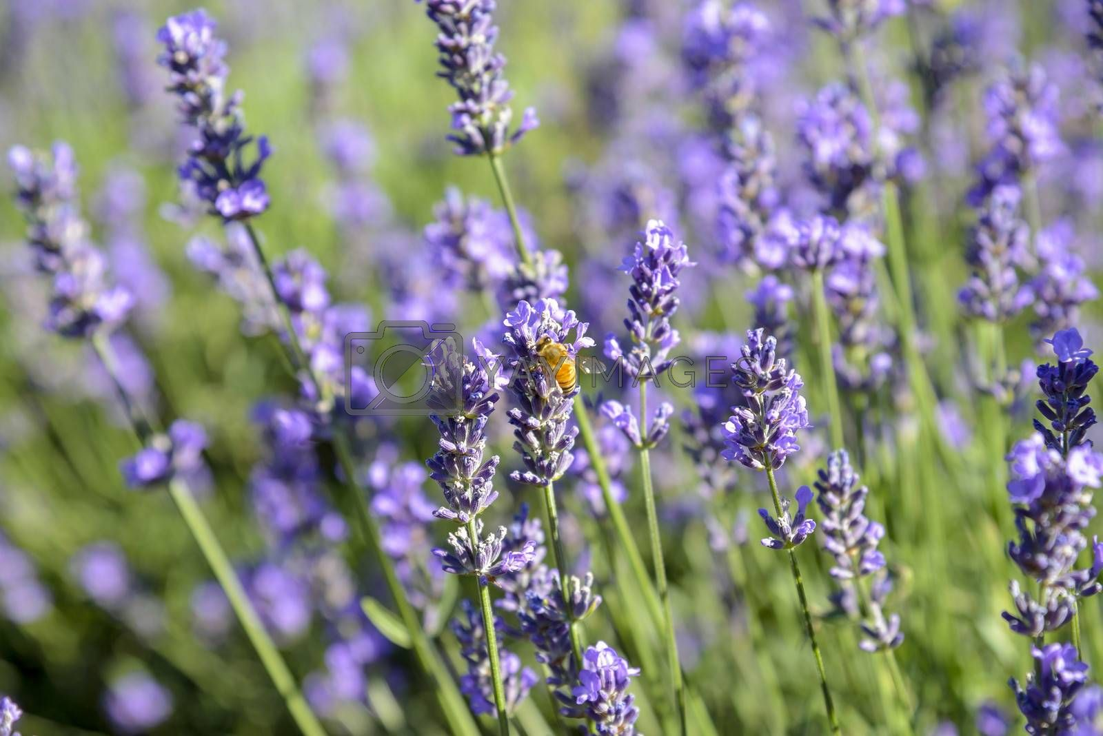 Lavender flower with Bee by gjeerawut