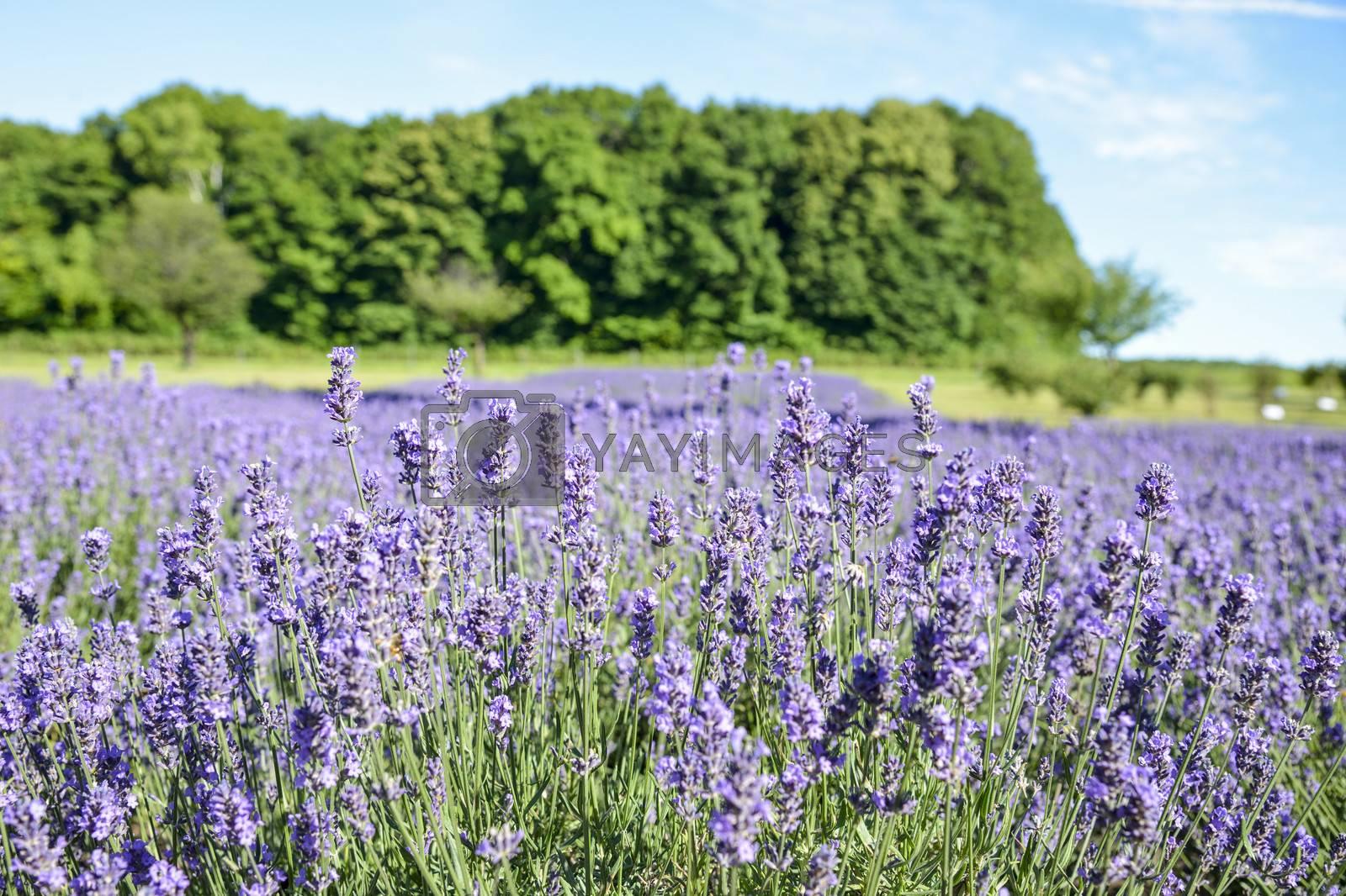 Lavender flower garden2 by gjeerawut