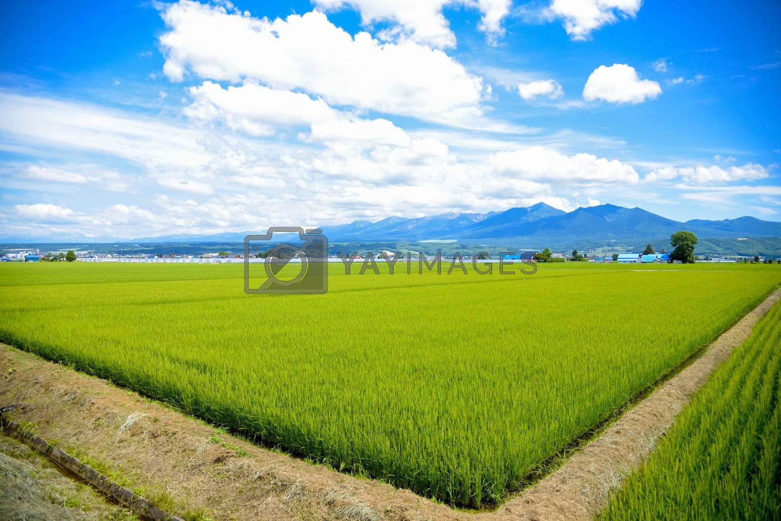 Green rice fields in Japan2 by gjeerawut