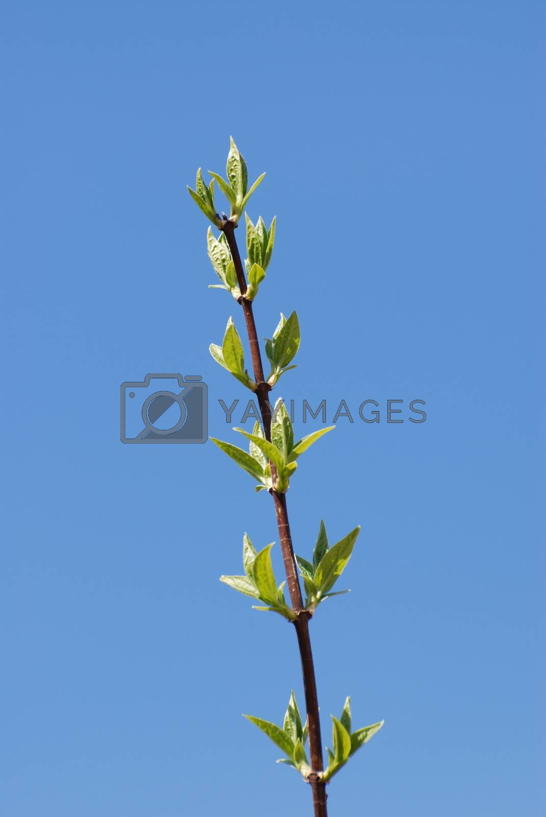 Green branch in spring