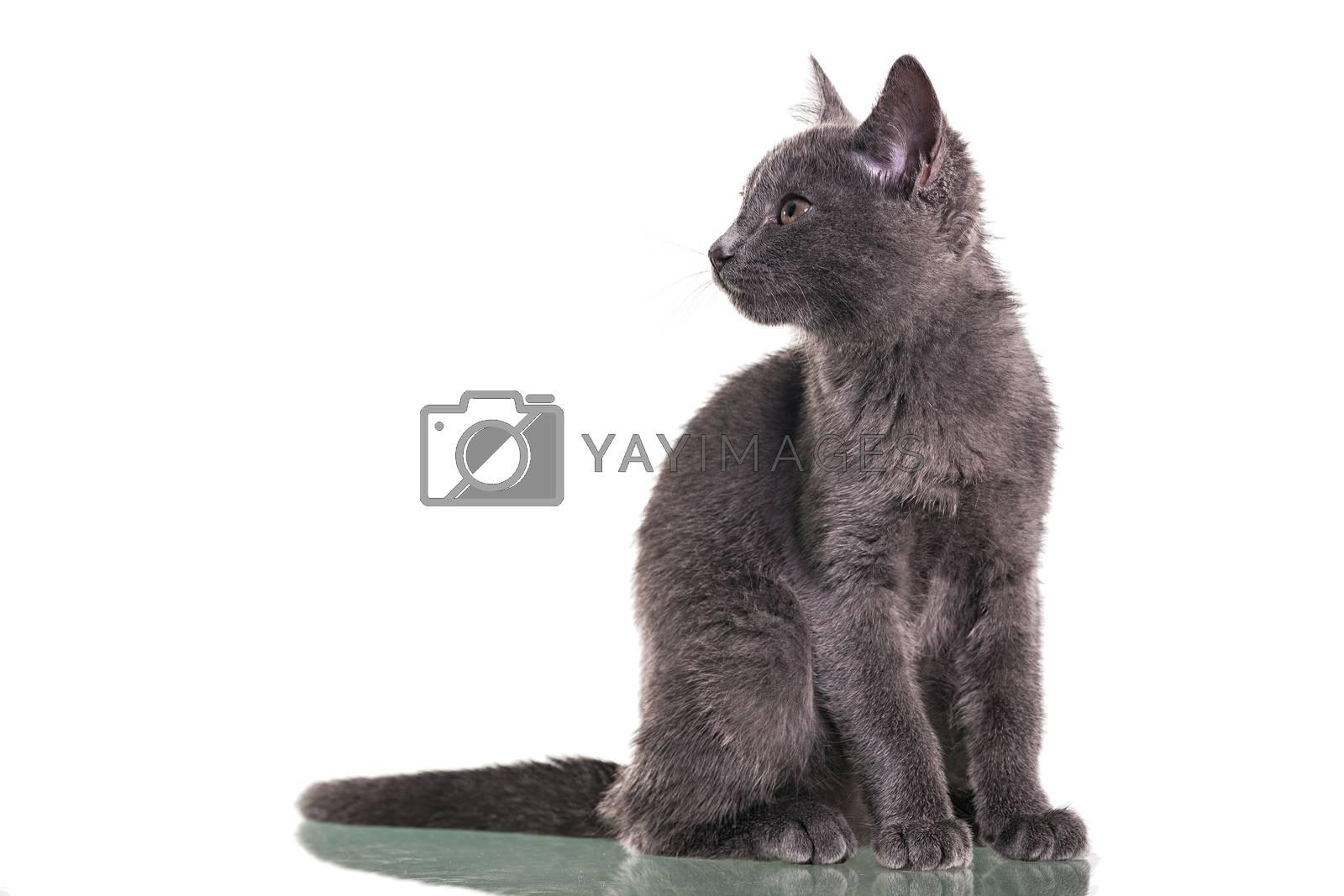 Chatreaux kitten Sitting portrait. Studio shot. Isolated on white background.
