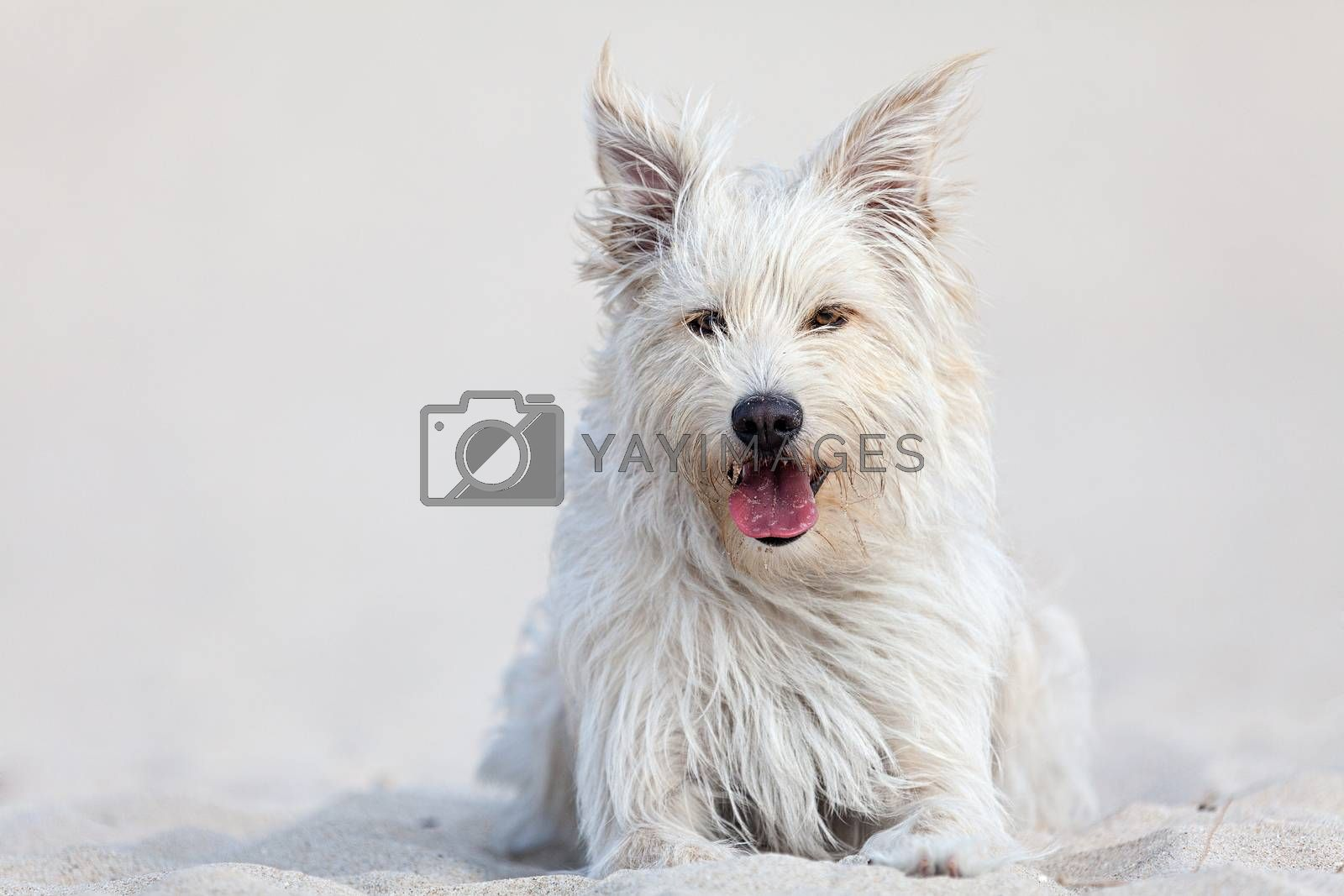 White dog on the beach by ajn