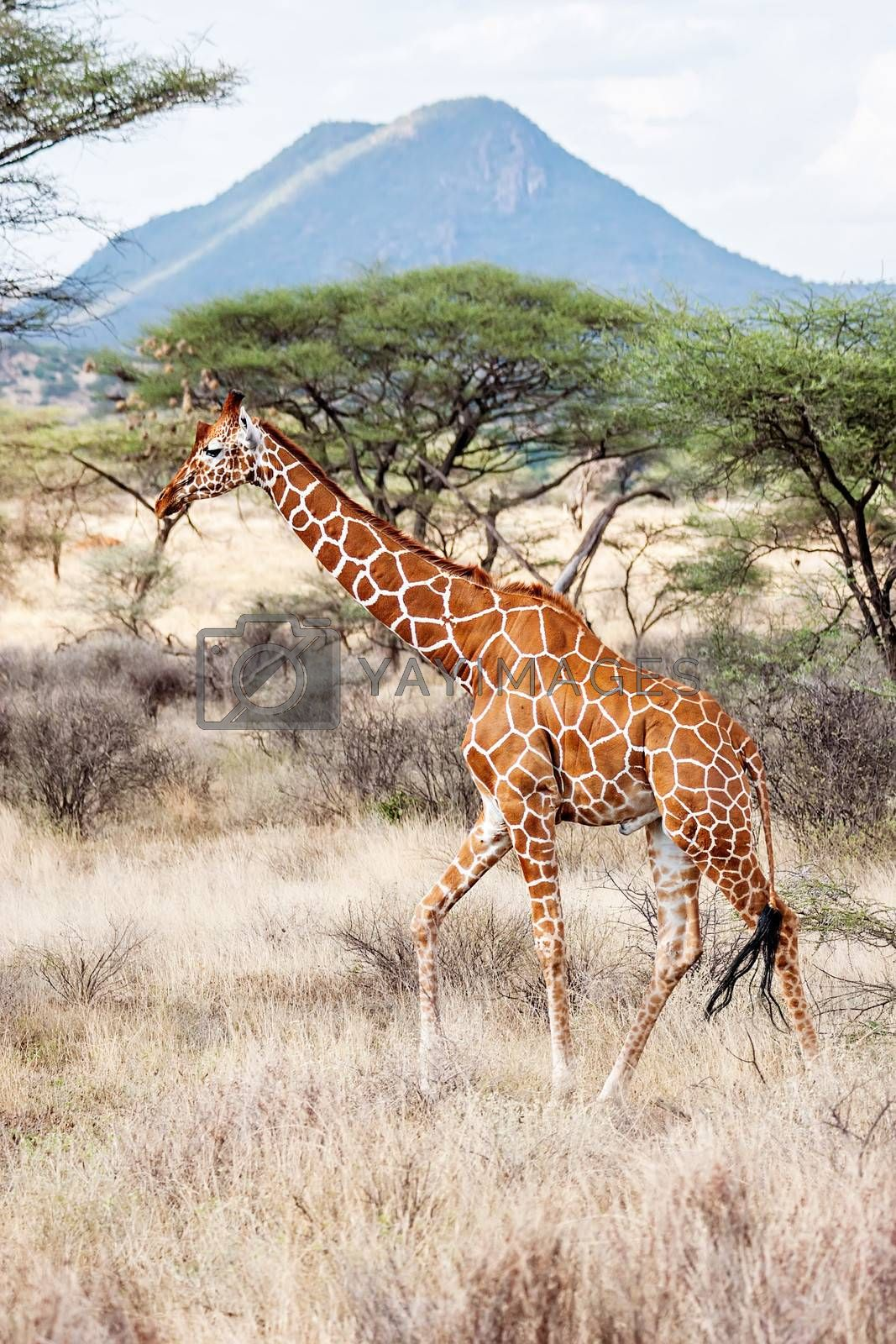Royalty free image of Reticulated Giraffe walking in the Savannah by ajn