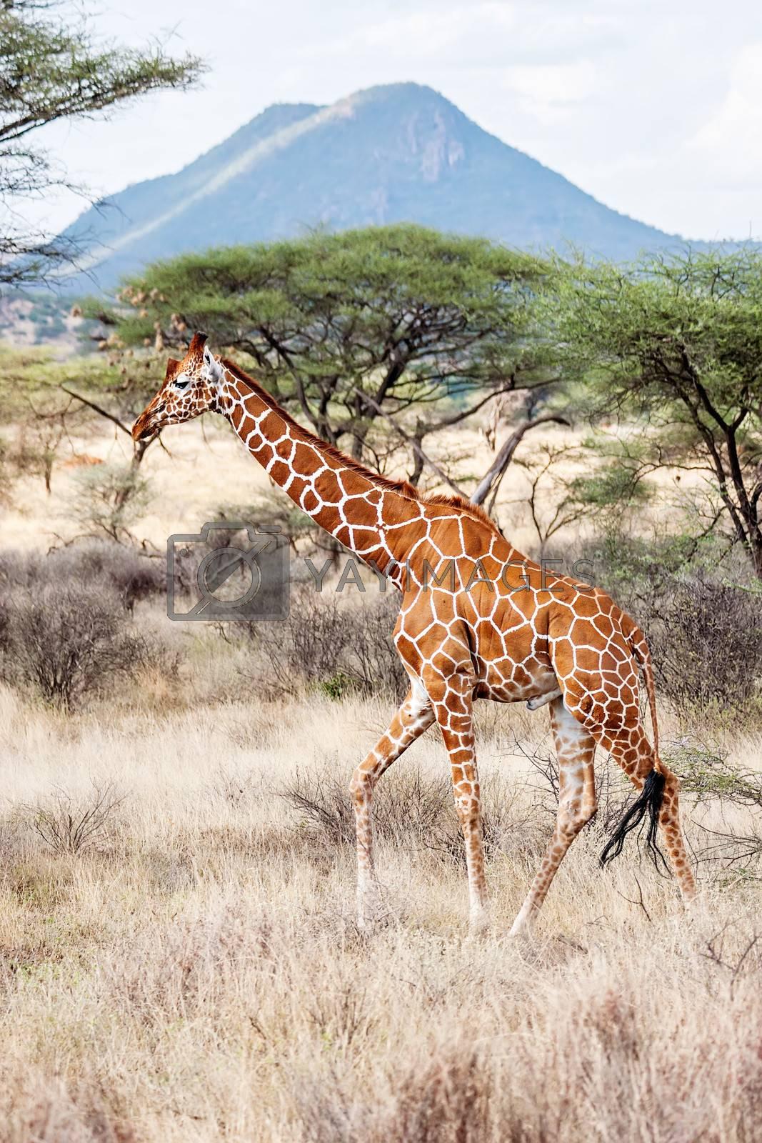 Reticulated Giraffe walking in the Savannah. Samburu, Kenya. Scientific name: Giraffa camelopardalis reticulata