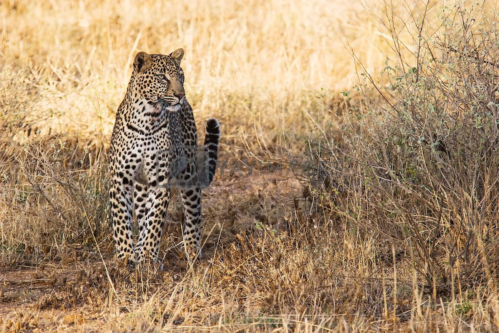 Beautiful leopard in the african savannah. Scientific name:  Panthera pardus