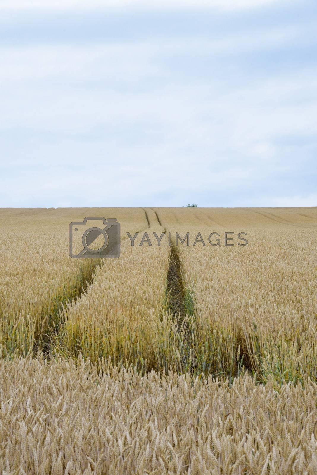 Golden barley field6