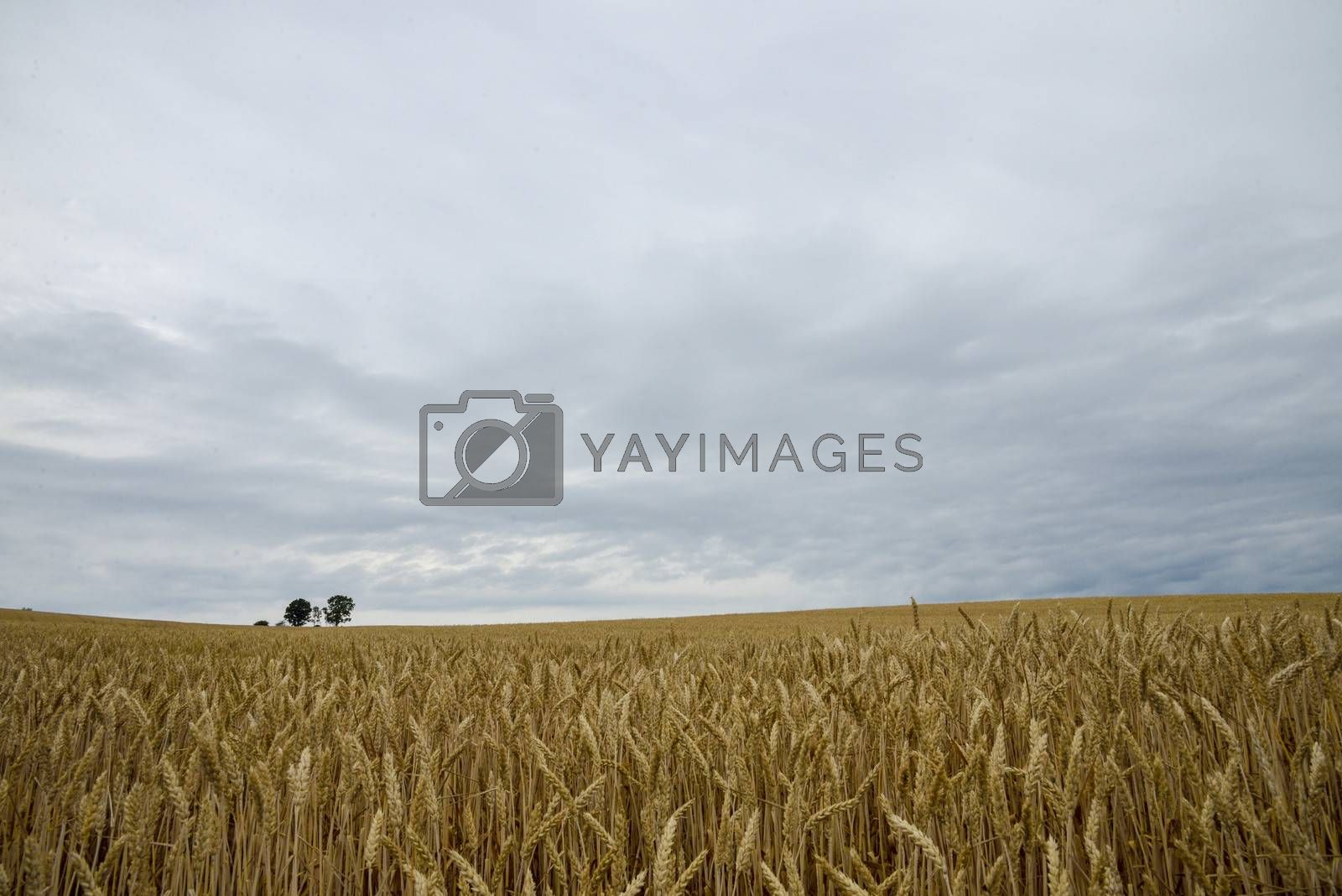 Parents and child tree in barley field7