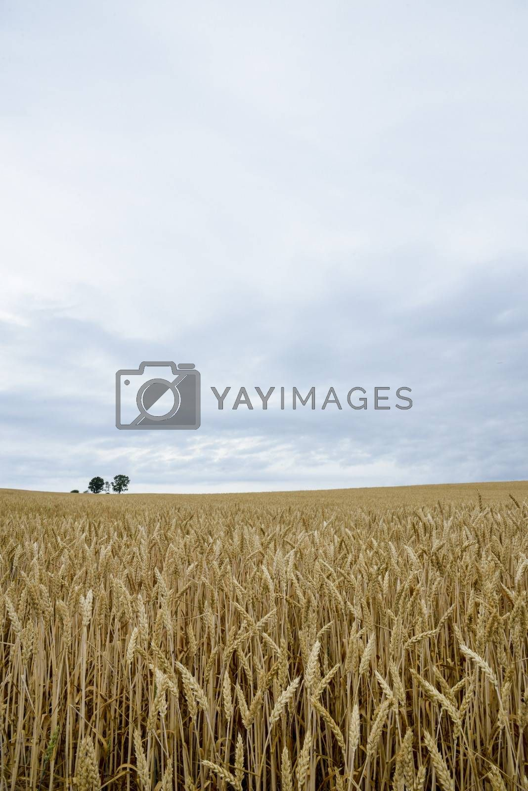 Parents and child tree in barley field4