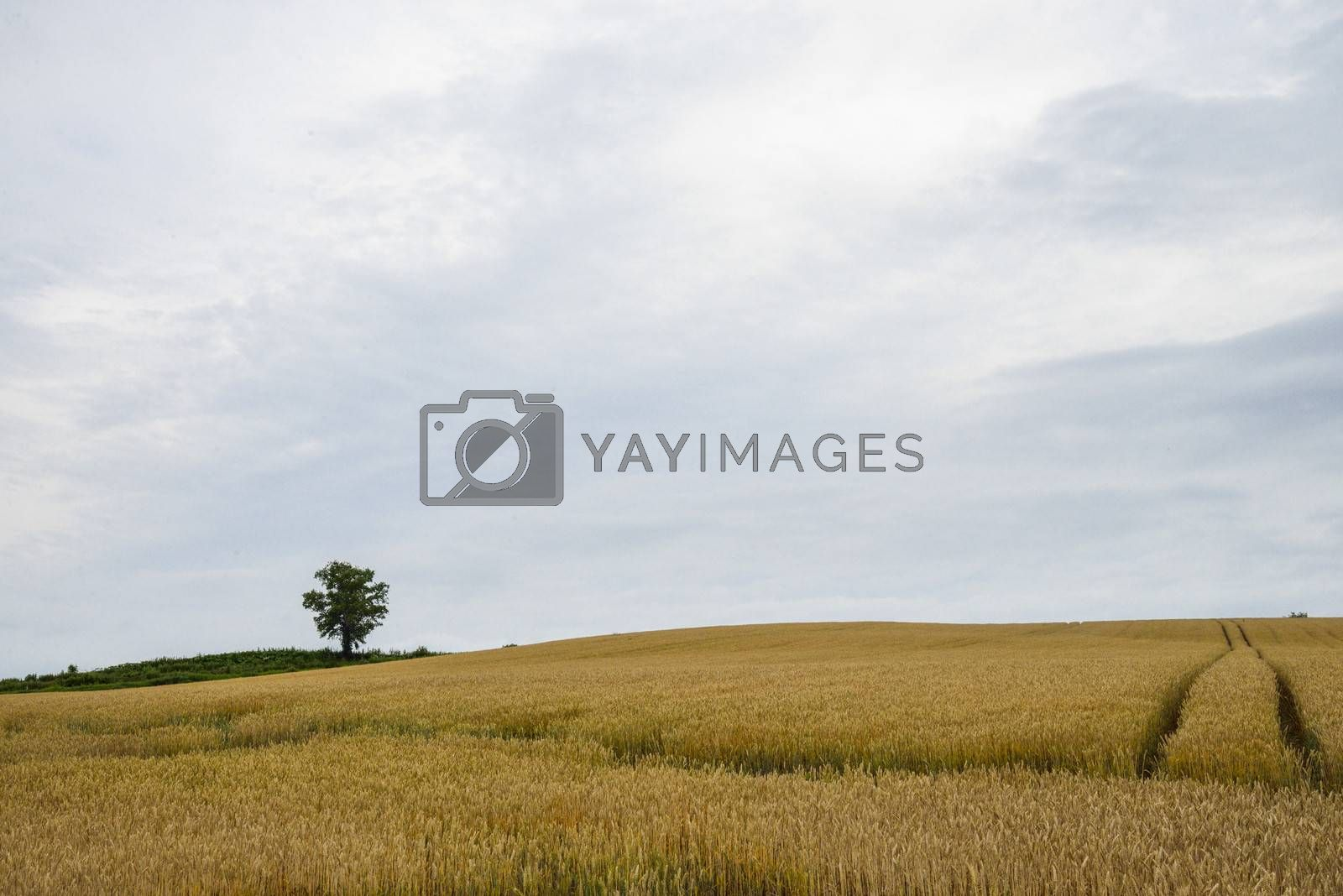 Parents and child tree in barley field3