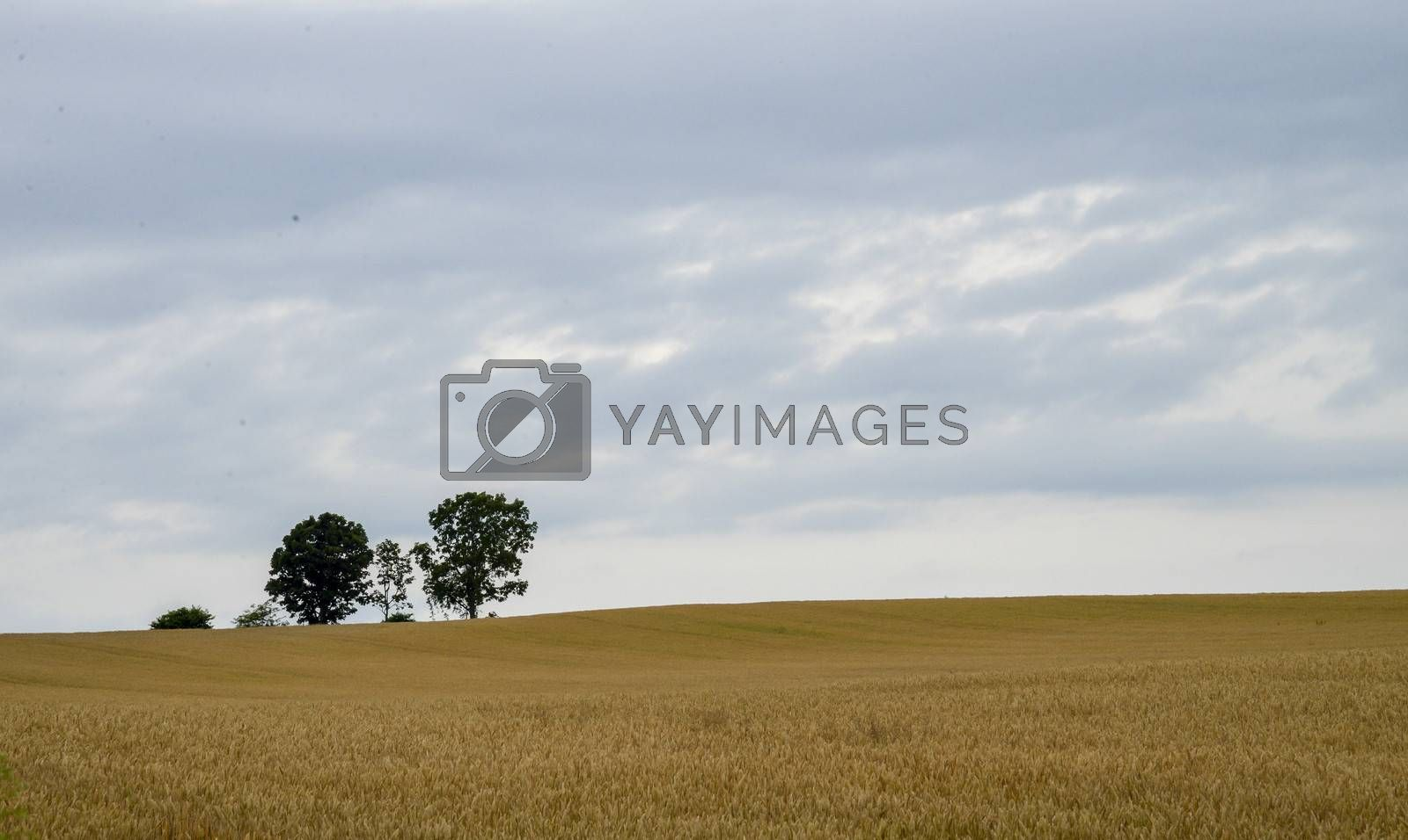 Parents and child tree in barley field1