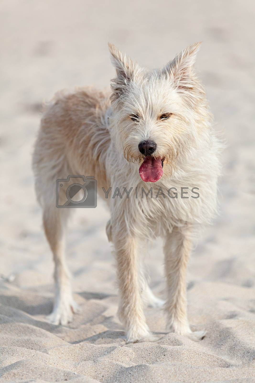 Cute white dog laying at the beach on a sunny day.