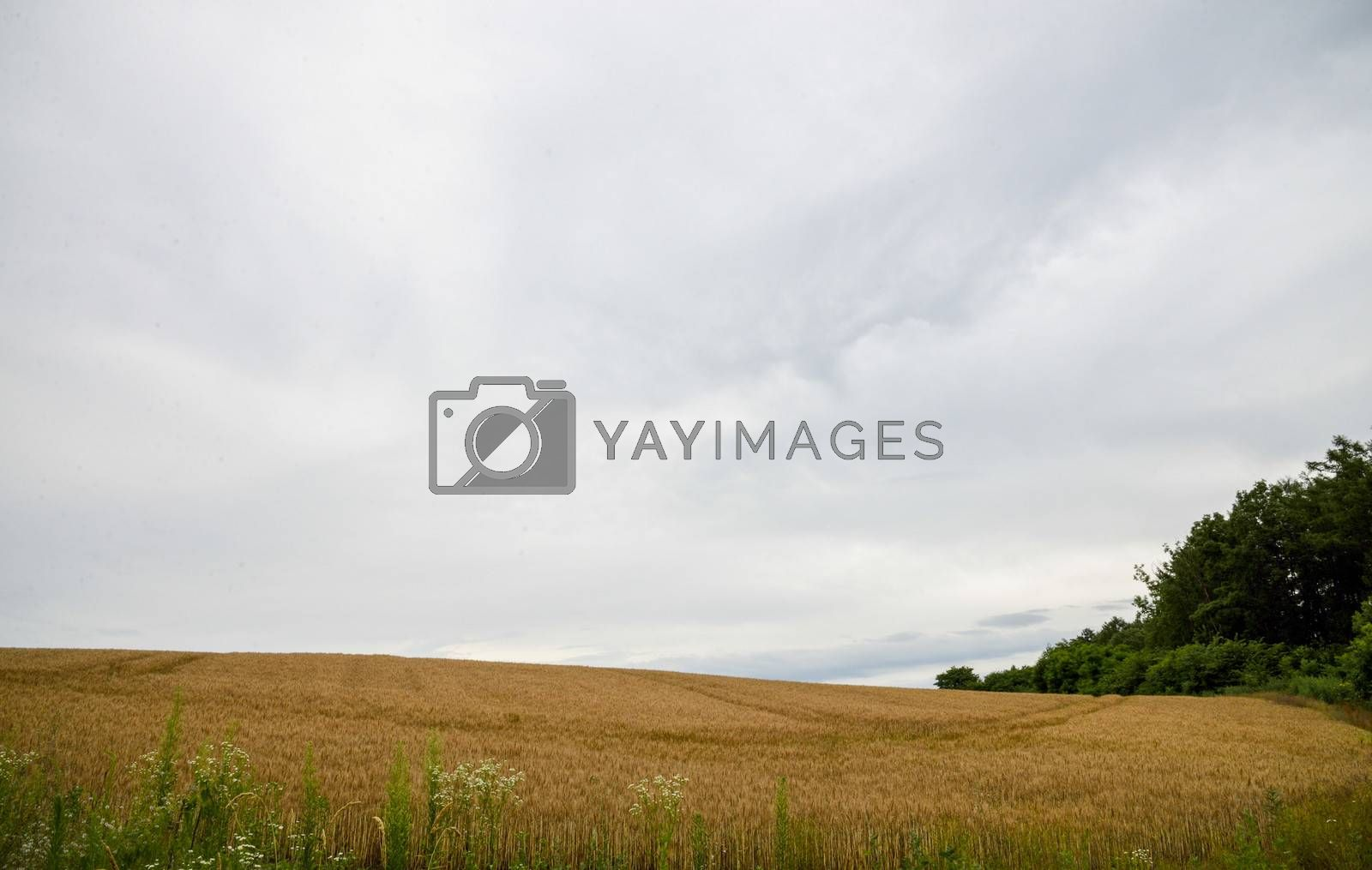 Barley field with cloudy sky4