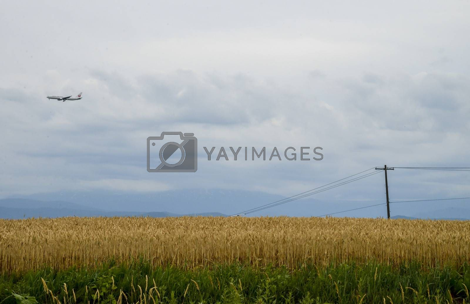 Barley field with cloudy sky2