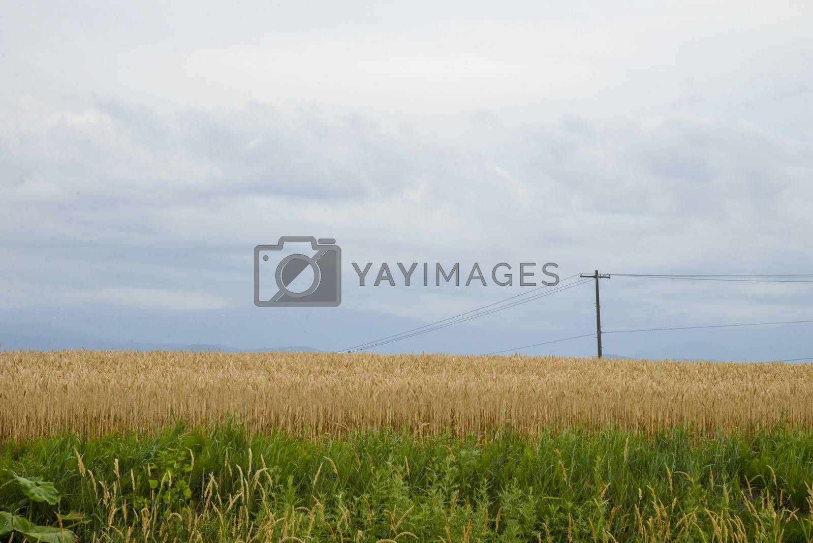 Barley field with cloudy sky1