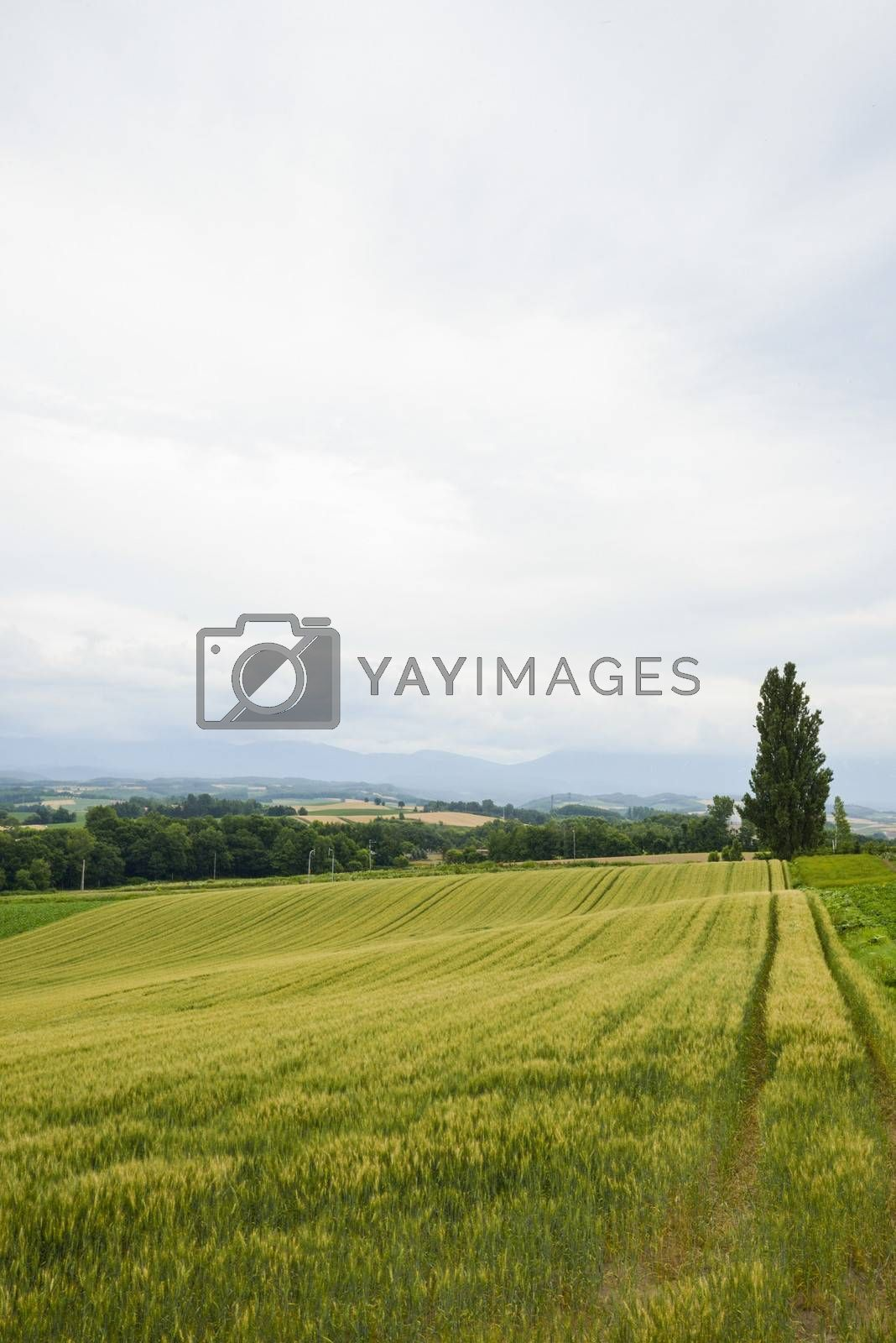 A poplar tree with rice field2