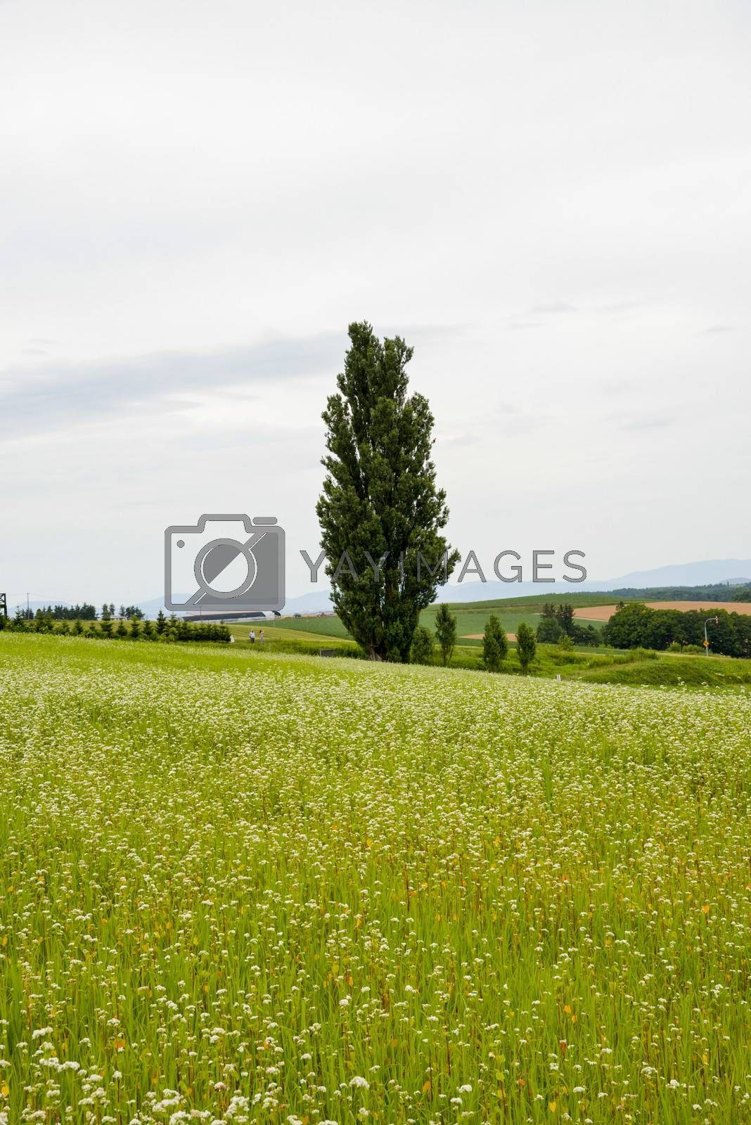 A poplar tree in the field of flower potato9