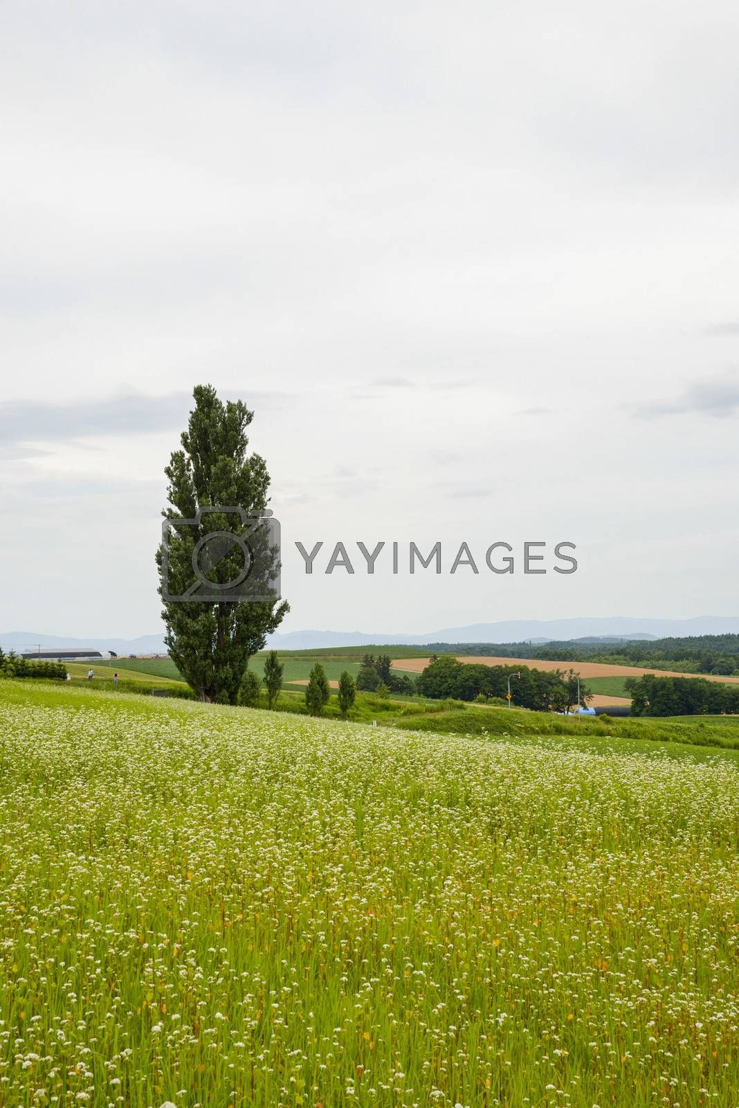 A poplar tree in the field of flower potato7