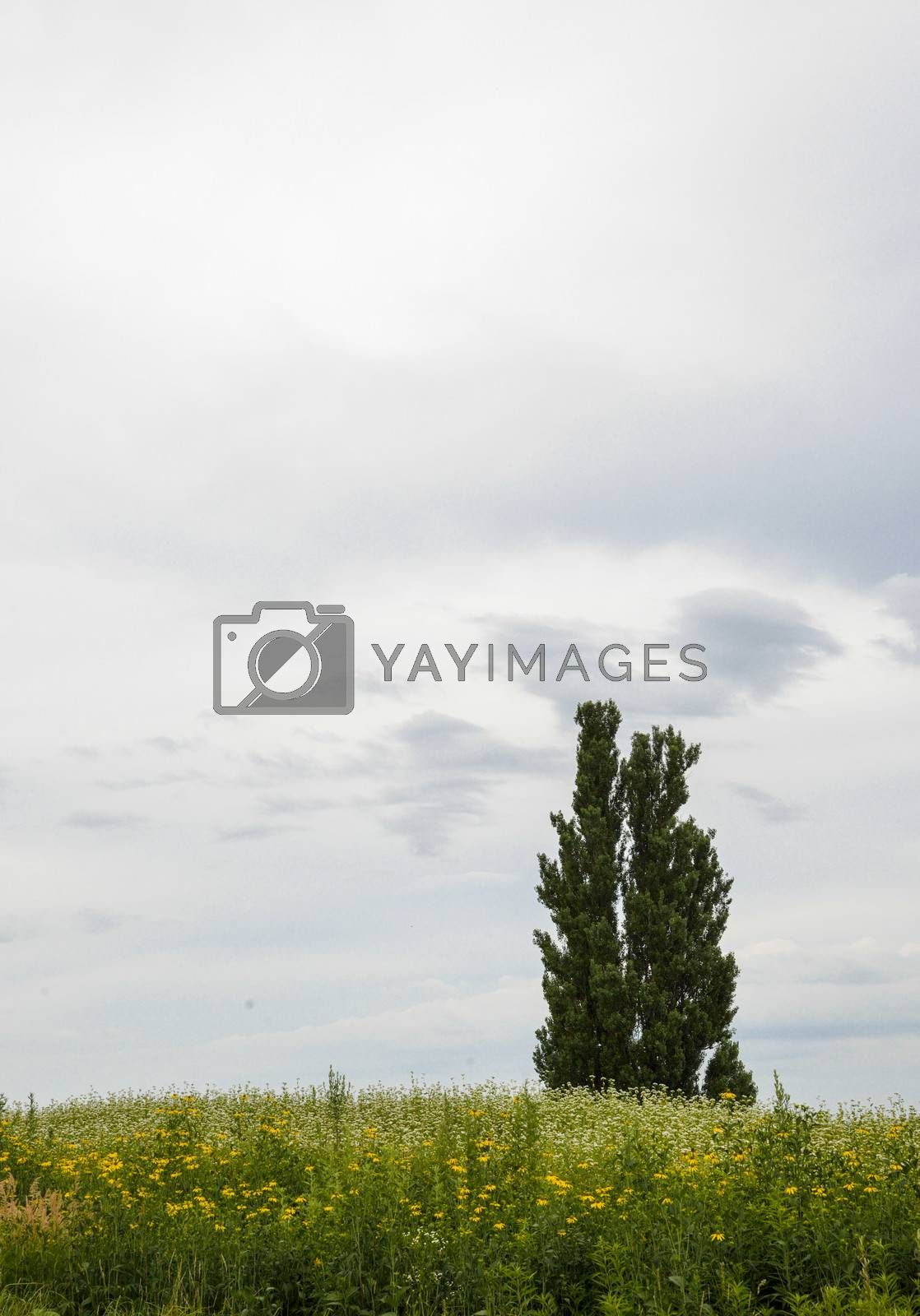 A poplar tree in the field of flower potato4