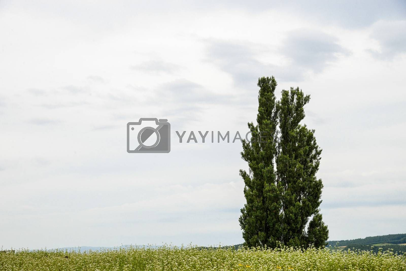A poplar tree in the field of flower potato3