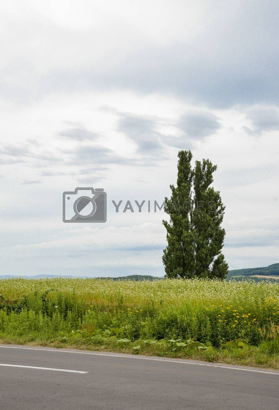 A poplar tree in the field of flower potato1