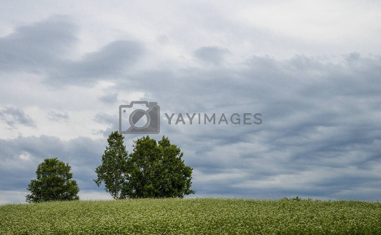 Poplar tree in the field of flower potato3
