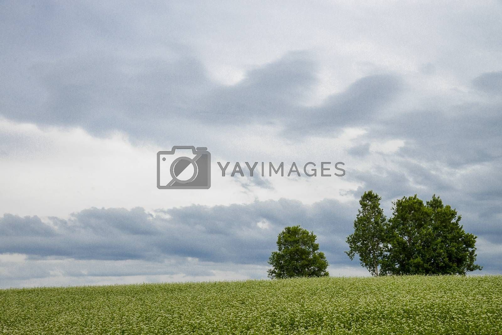Poplar tree in the field of flower potato2
