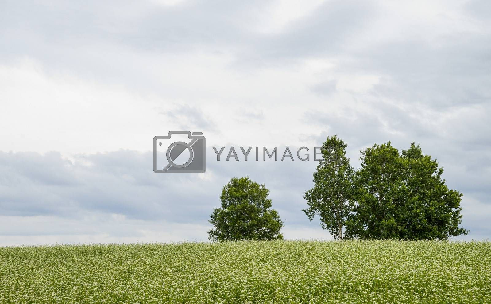 Poplar tree in the field of flower potato1