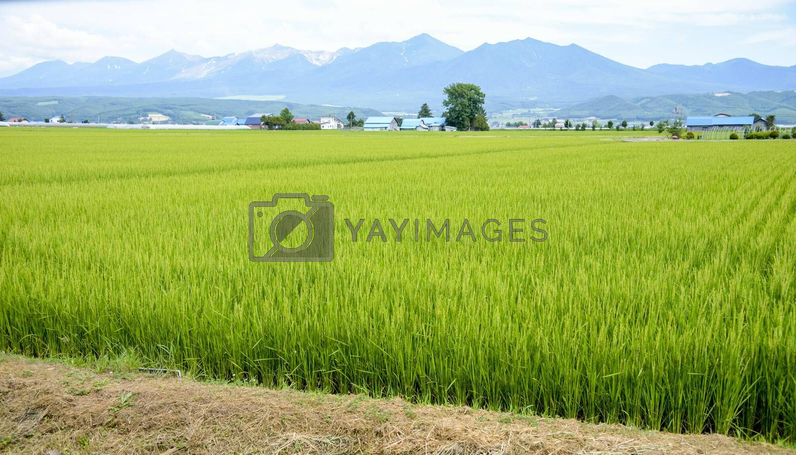 Green rice field in countryside