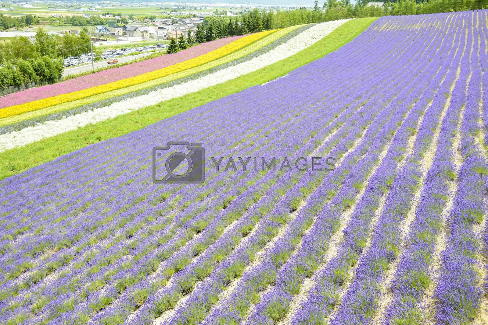 Colorful Lavender farm8