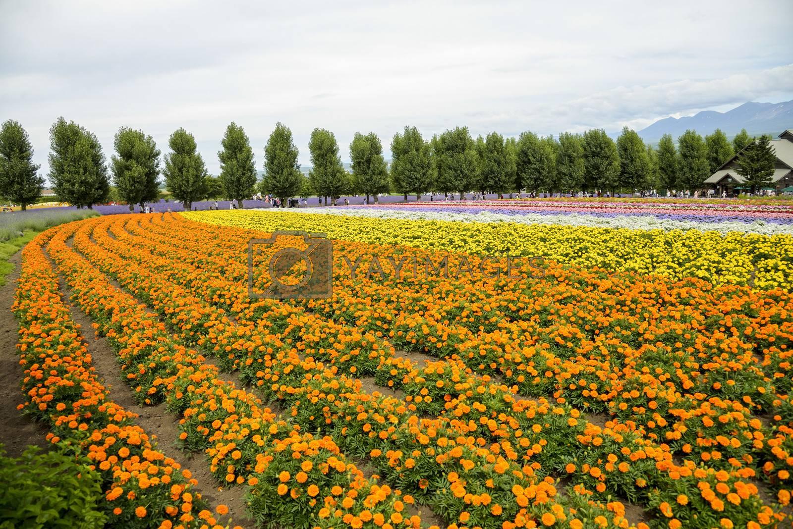 Row of orange flower in Farm2
