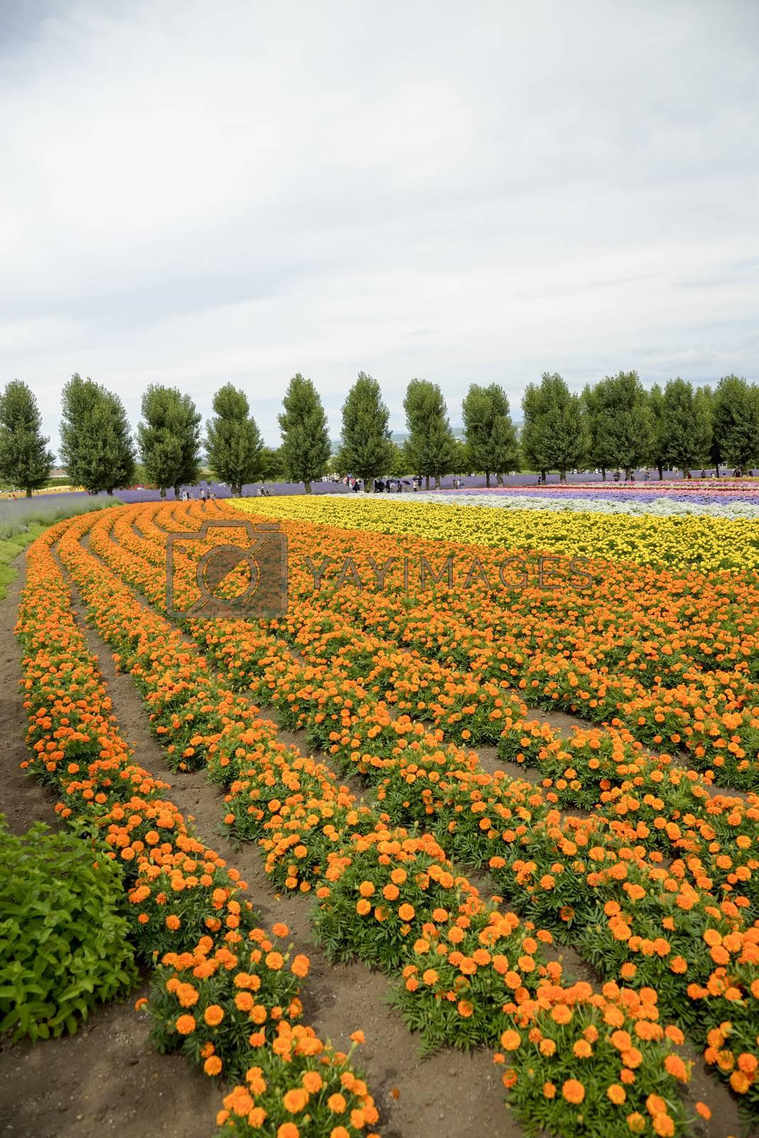 Row of orange flower in Farm1