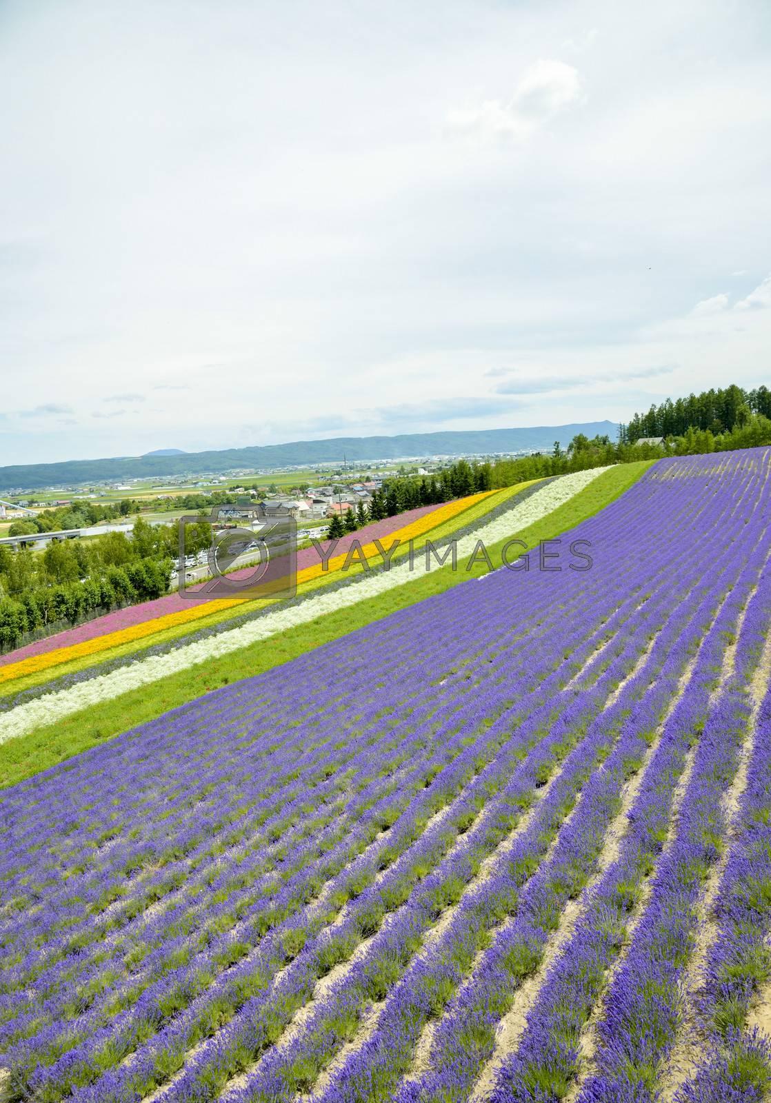 Colorful Lavender farm15