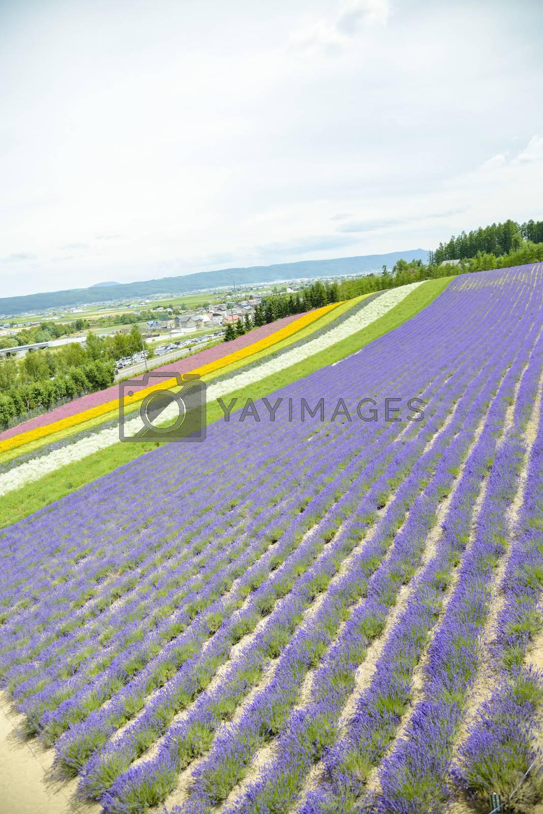 Colorful Lavender farm14