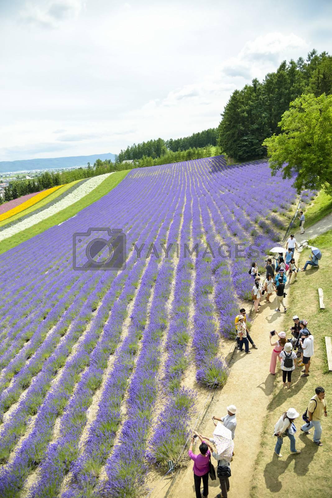 Colorful Lavender farm13