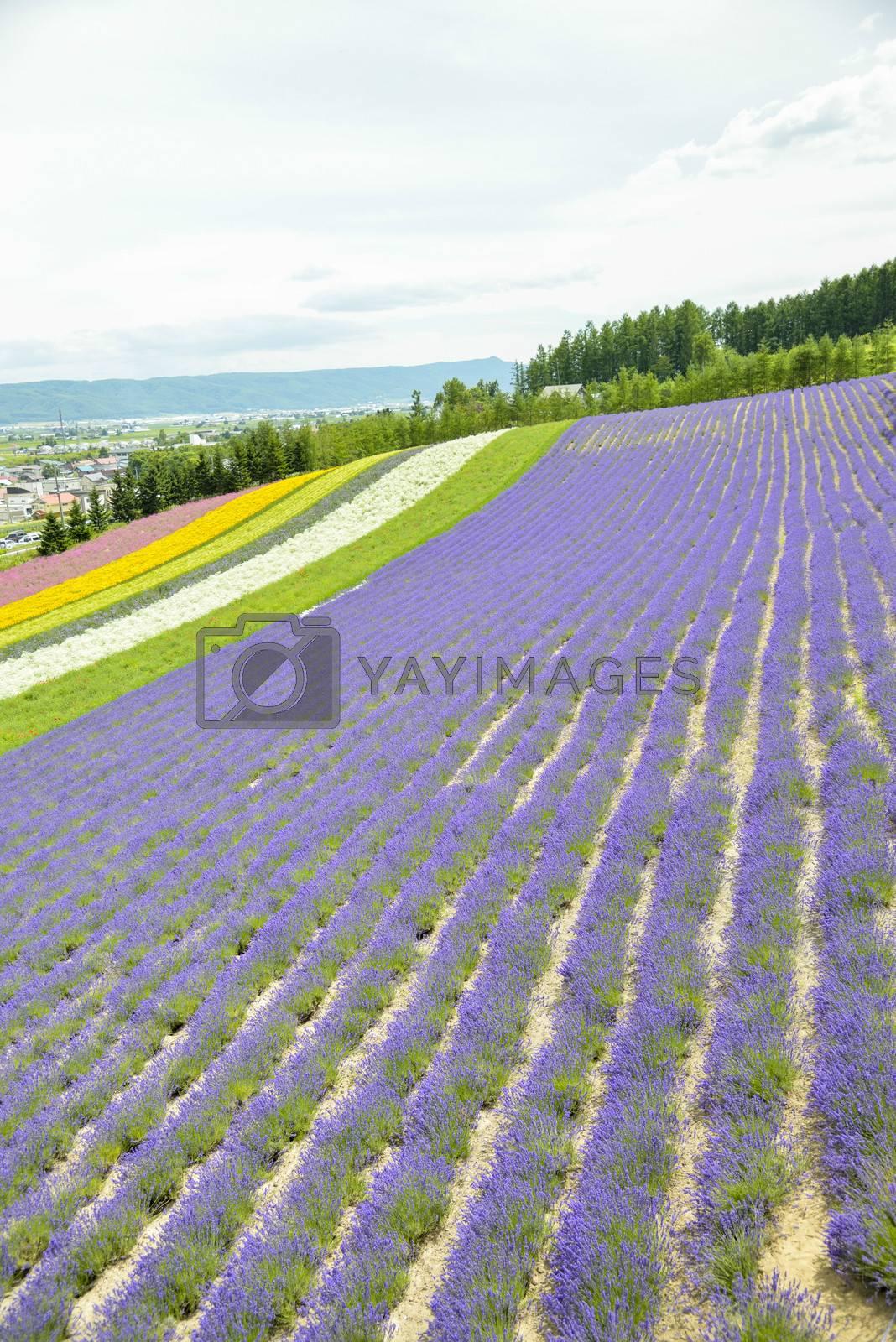 Colorful Lavender farm12