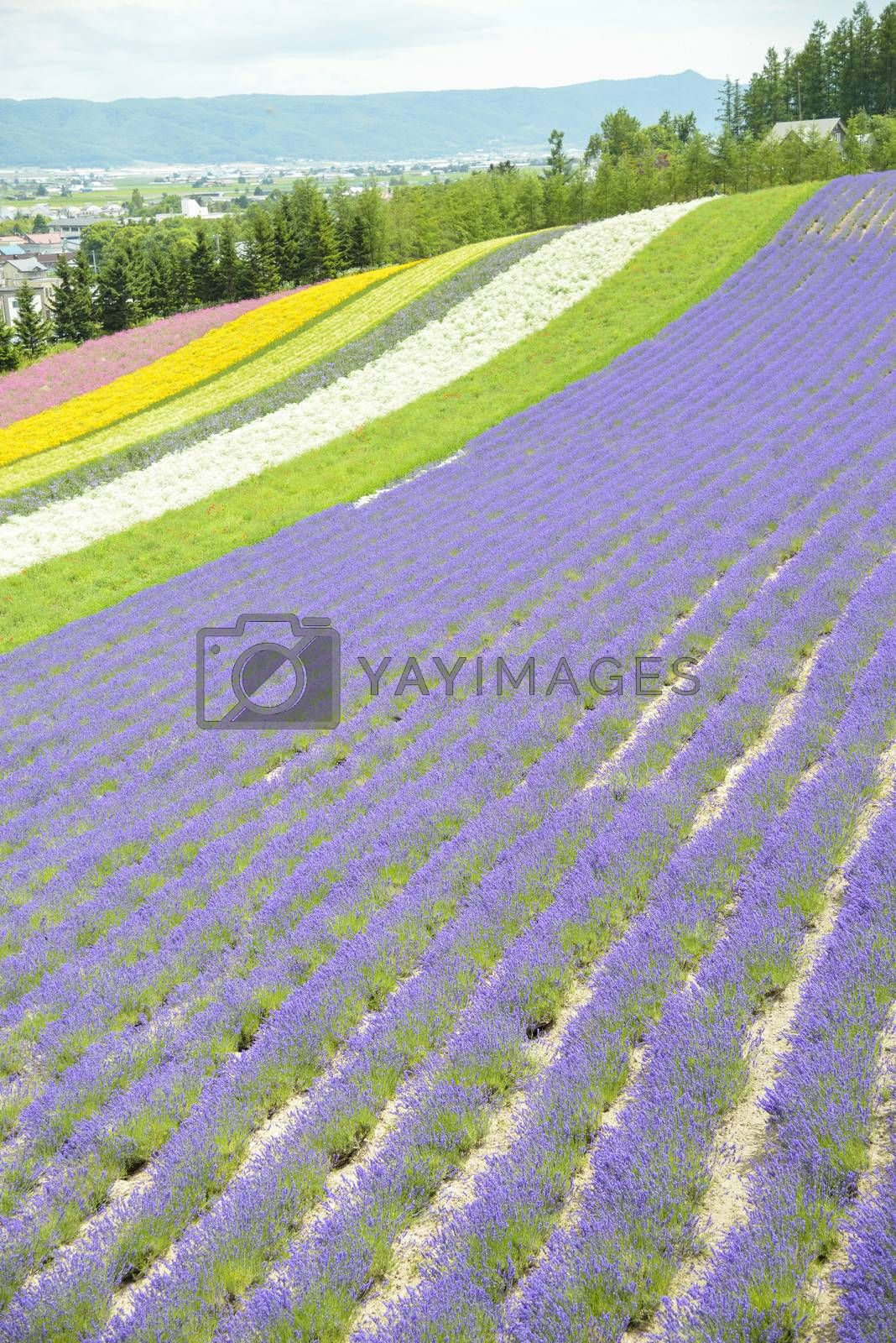 Colorful Lavender farm10