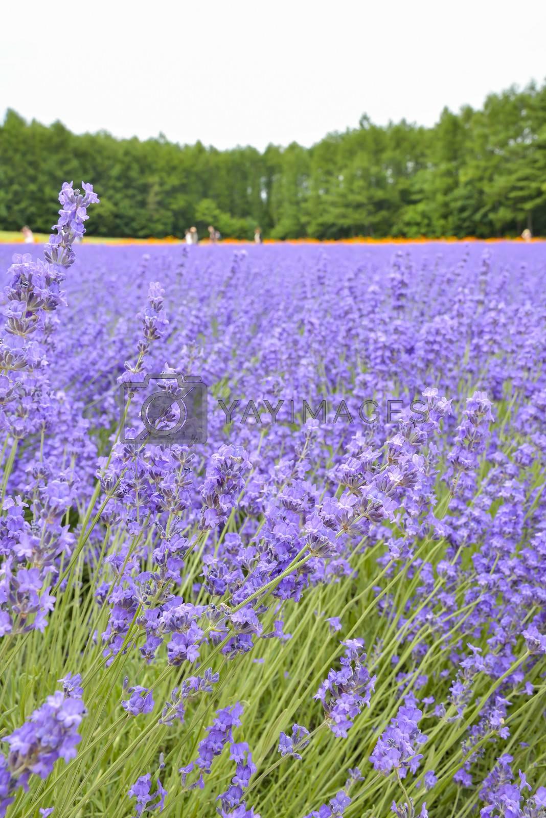 Colorful Lavender farm6