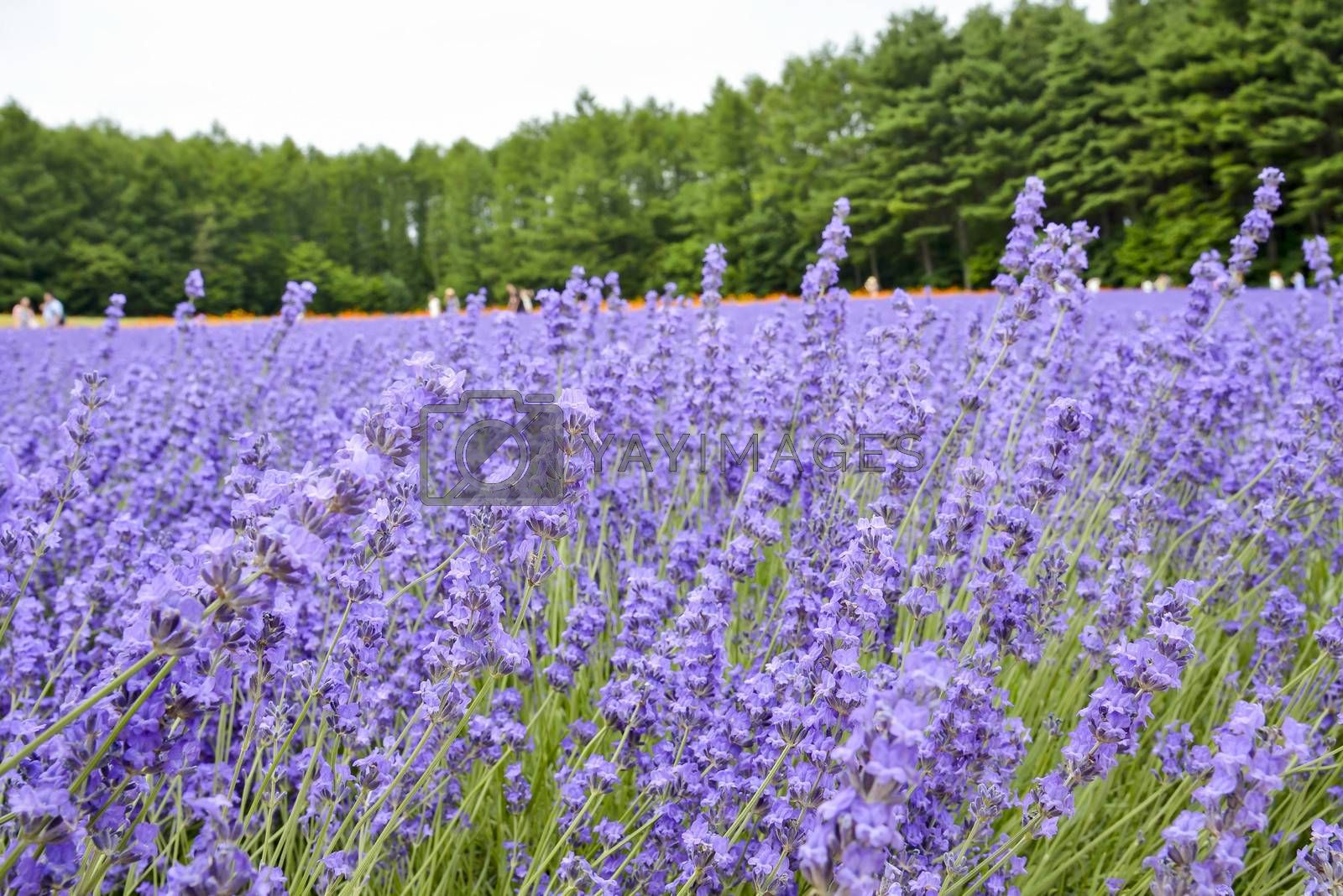 Colorful Lavender farm5